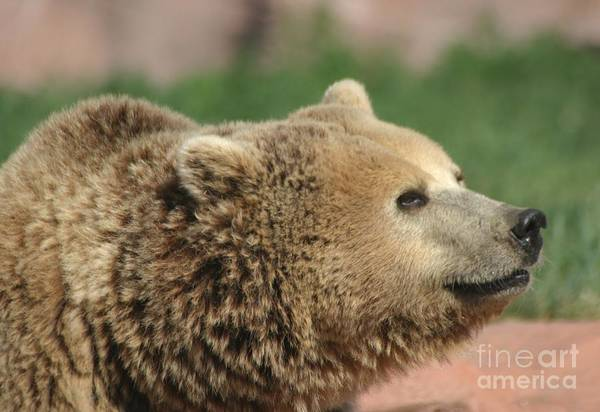 Bear Art Print featuring the photograph Bear Profile by Living Color Photography Lorraine Lynch
