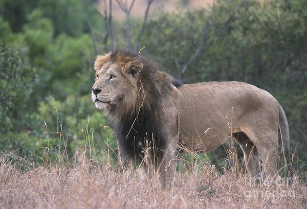 Lion Art Print featuring the photograph Black Maned Lion by Sandra Bronstein