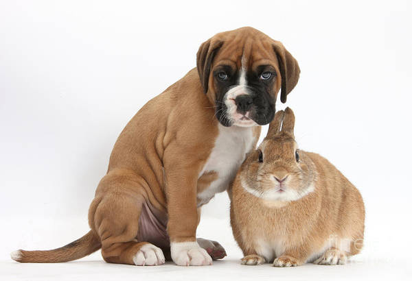 Nature Art Print featuring the photograph Boxer Puppy And Netherland-cross Rabbit by Mark Taylor
