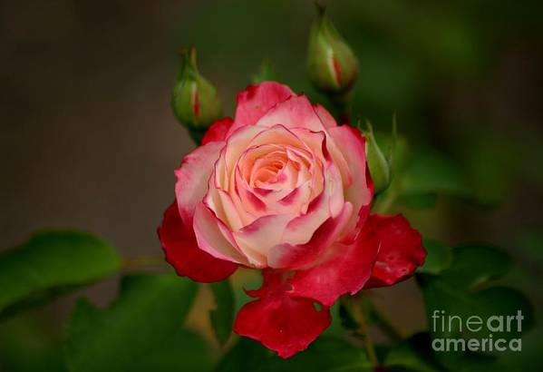 Roses Art Print featuring the photograph My Buds And I by Living Color Photography Lorraine Lynch