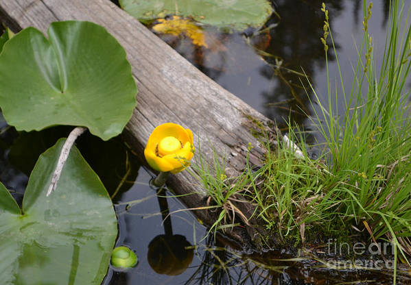 Nymphaea Odorata Art Print featuring the photograph Nymphaea Odorata In Yellow by Roxann Whited