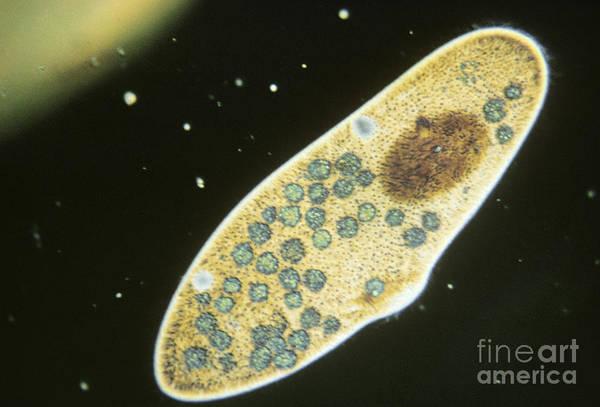 Plankton Art Print featuring the photograph Protozoa, Paramecium Caudatum, Lm by Eric V. Grave