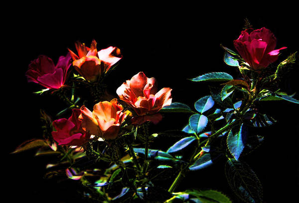 Plant Art Print featuring the photograph Six Roses Of The Night by Linda Phelps