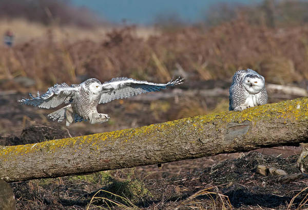 Snowy Owls Art Print featuring the photograph Snowy Owl Landing by Terry Dadswell