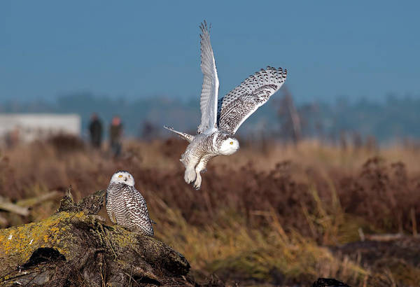 Snowy Owls Art Print featuring the photograph Snowy Owls by Terry Dadswell