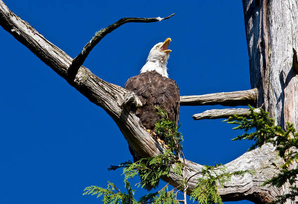 Animals Art Print featuring the photograph Squawking Alaskan Eagle by Jean Noren