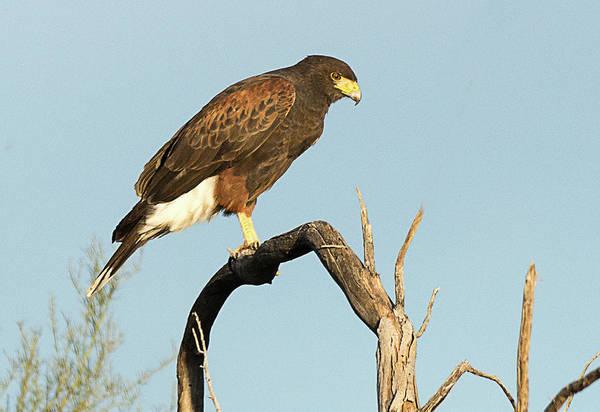 Bird Art Print featuring the photograph Harris Hawk by Dennis Hammer