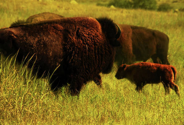 Bisons Art Print featuring the photograph Bisons by Iris Greenwell