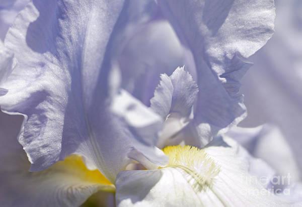 Genus Iris Art Print featuring the photograph Iris Flowers by Tony Cordoza