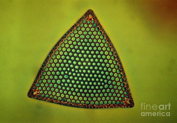 Light Micrograph Art Print featuring the photograph Algae, Diatom, Triceratium Ladus, Lm by Eric Grave