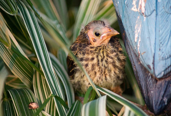 Baby Art Print featuring the photograph Baby Bird Hiding In Grass by Douglas Barnett