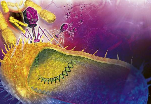 Bacteria Print featuring the photograph Bacteriophages Attacking Bacteria by Claus Lunau