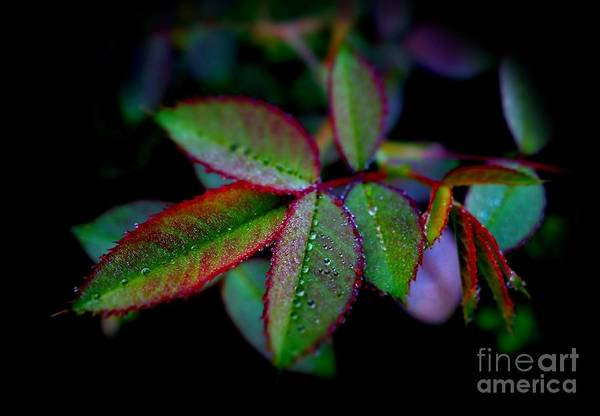 Rose Art Print featuring the photograph Brilliant Autumn Rose Foliage by Anthony Ackerman