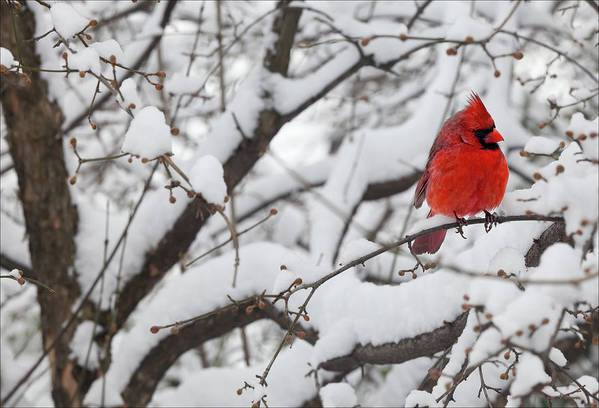 Snow Art Print featuring the photograph Cardinal In The Snow 3 by Robert Ullmann