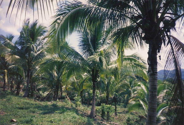 Jamaica Art Print featuring the photograph Coconut Farm by Debbie Levene