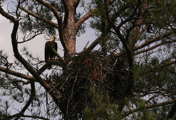 Bald Eagle Art Print featuring the photograph Eagle At The Nest by James Jones