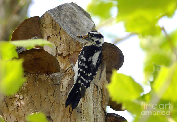 Downy Woodpecker Art Print featuring the photograph Feeding Time by David Lee Thompson
