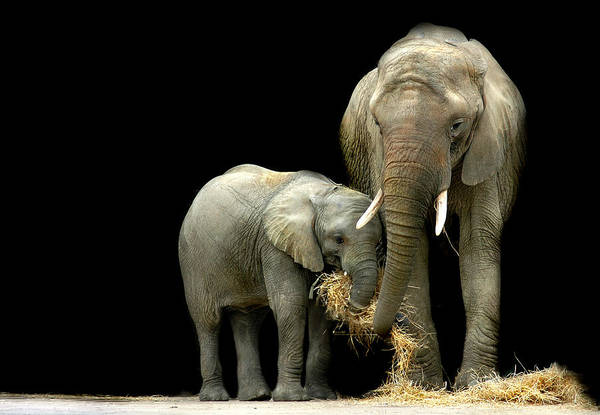 Elephant Art Print featuring the photograph Feeding Time by Stephie Butler