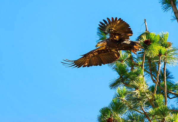Bald Eagle Art Print featuring the photograph Fly Like An Eagle by Dennis Bolton