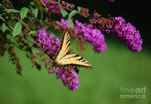 Butterfly Art Print featuring the photograph Freedom by Debbi Granruth