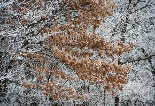 Kansas Art Print featuring the photograph Hoarfrost Trees by Fred Lassmann