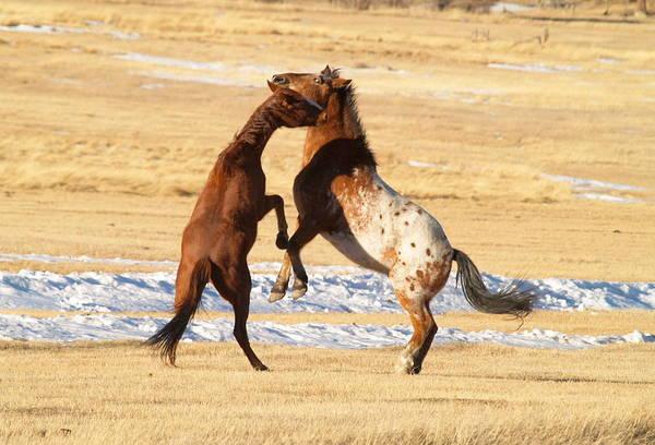 Horses Art Print featuring the photograph Horseplay by Lauren Munger