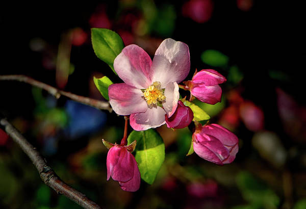 Apple Blossom Art Print featuring the photograph Louisa Apple Blossom 001 by George Bostian