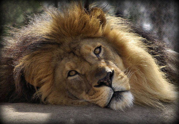 Lion Print featuring the photograph Majestic Love by Linda Mishler