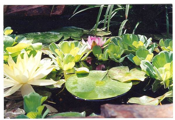Waterlillies Art Print featuring the photograph Morning Pond by Laura Johnson