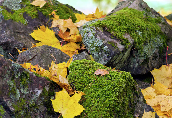 Moss Art Print featuring the photograph Mossy Stones And Maple Leaves by Jarmo Honkanen