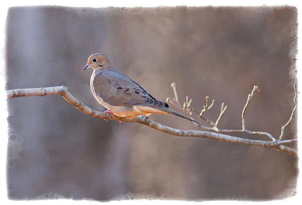 Bird Photography Art Print featuring the photograph Mourning Dove by David Waldrop