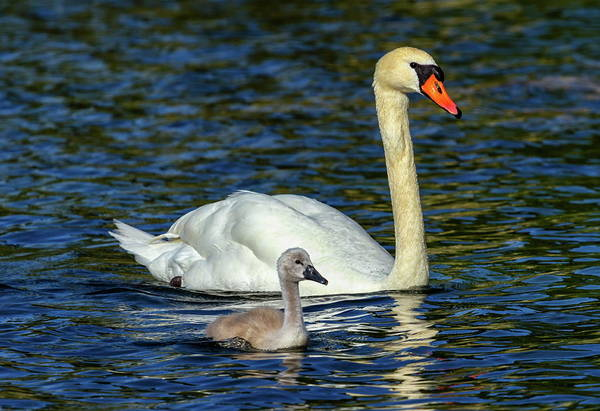 Swan Art Print featuring the photograph Mute Swan, Cygnus Olor, Mother And Baby by Elenarts - Elena Duvernay photo