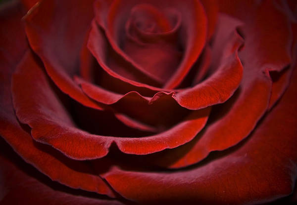 Rose Art Print featuring the photograph One Red Rose by Svetlana Sewell