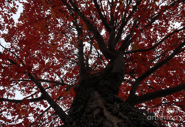 Fall Art Print featuring the photograph Red Tree by David Lee Thompson