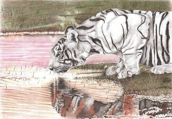 Tiger Art Print featuring the drawing Reflecting by Dustin Knighton