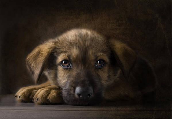 Puppy Print featuring the digital art Sad Puppy by Bob Nolin