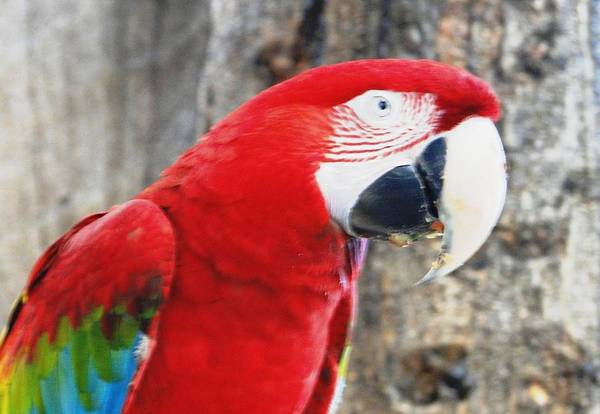 Scarlet Macaw Art Print featuring the photograph Say What by Carol Reynolds