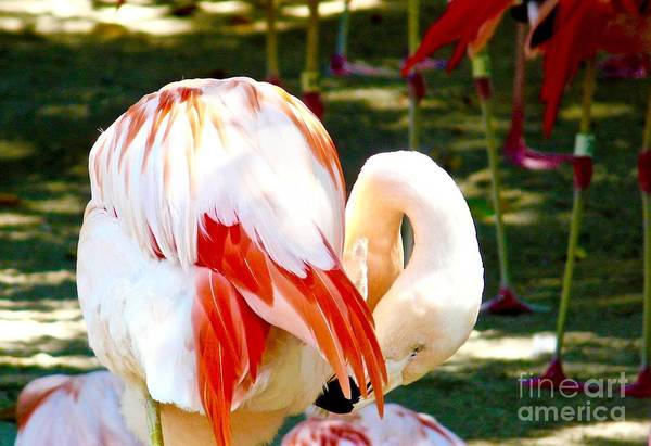 Flamingoes Art Print featuring the photograph Showgirls by Jacqueline Howe