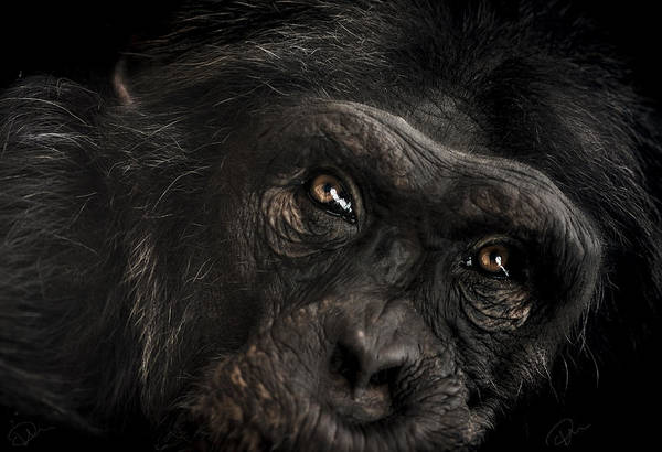 Chimpanzee Art Print featuring the photograph Sorrow by Paul Neville