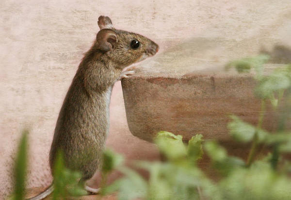 Mouse Art Print featuring the photograph Sports Mouse by Heike Hultsch