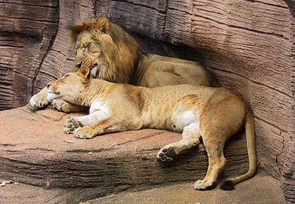 Lions Art Print featuring the photograph The Lions by Michele Caporaso