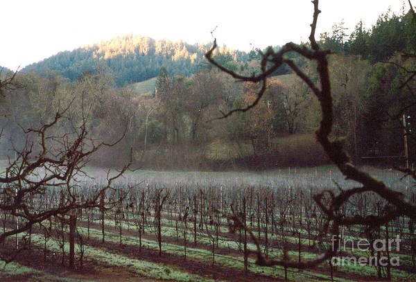 Vineyard Art Print featuring the photograph Vineyard In The Winter by PJ Cloud
