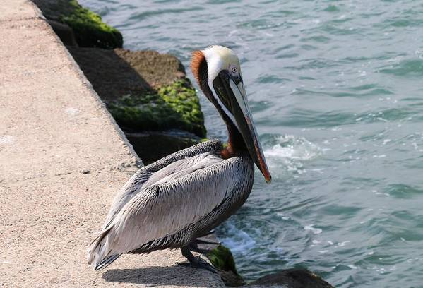 Pelican Art Print featuring the photograph Waiting For A Fish - 2 by Christy Pooschke