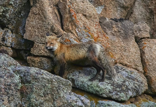 Red Fox Art Print featuring the photograph Wet Vixen On The Rocks by Perspective Imagery