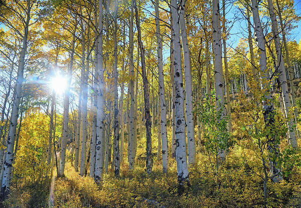 Aspens Art Print featuring the photograph Afternoon Aspens by Brian Kerls