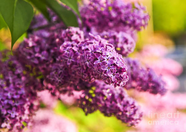 Lilac Print featuring the photograph Lilacs by Elena Elisseeva