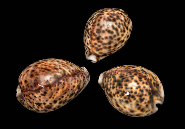 Anatomy Art Print featuring the photograph Tiger Cowrie by Natural History Museum, London