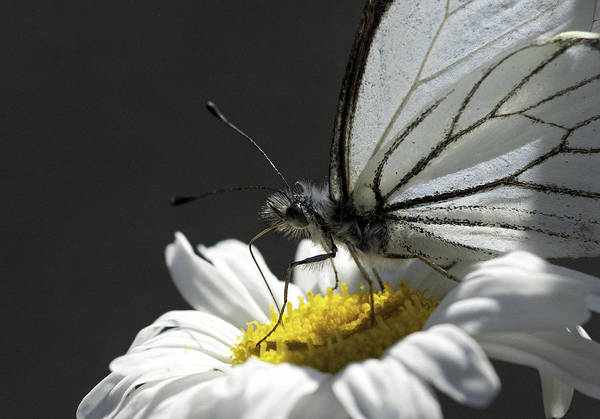 Pine White Art Print featuring the photograph Pine White Butterfly by Betty Depee