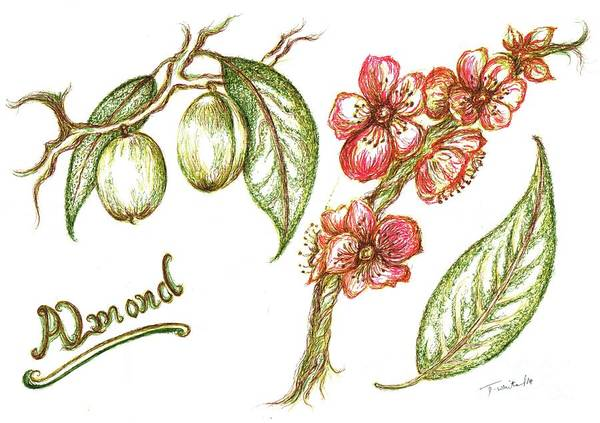 Teresa Art Print featuring the drawing Almond With Flowers by Teresa White