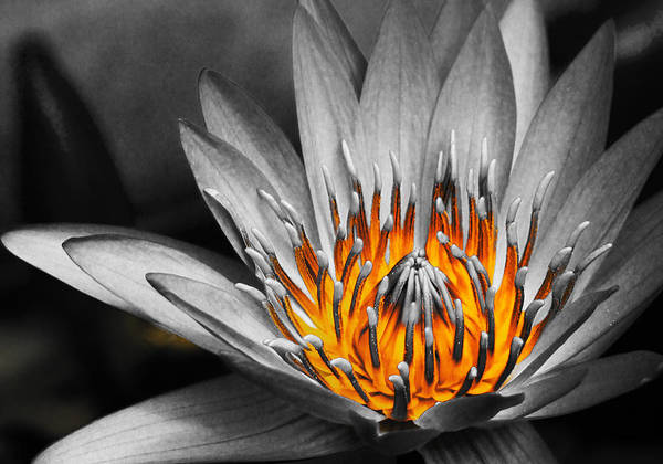 Lotus Art Print featuring the photograph Lotus On Fire by Lyle Barker